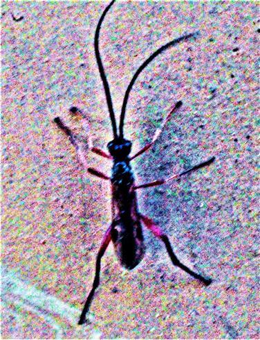 Braconidae(Alysiinae) an einem Holzscheit
