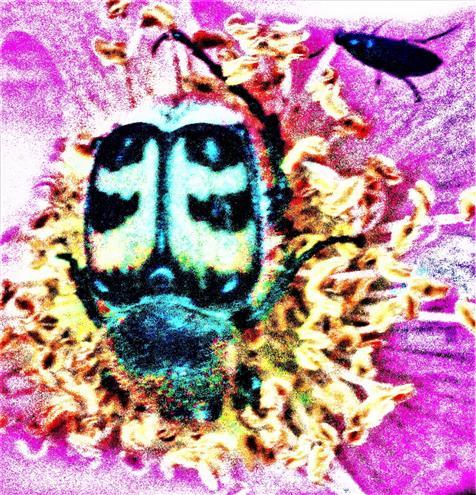 Gebänderter Pinselkäfer(Trichius fasciatus(L. 1758)) beim Blütenbesuch