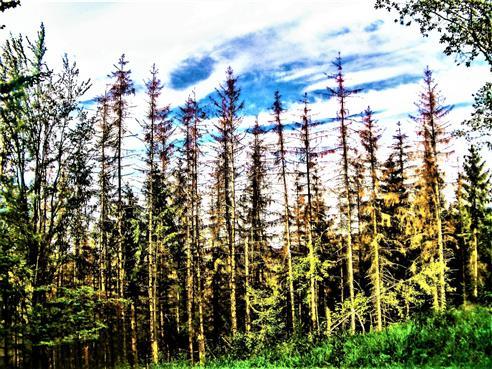 Abgestorbene Jungfichten(Picea abies(L.)H. Karst.)