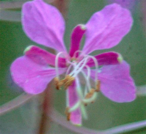 Blüte des Schalblättrigen Weidenröschens(Epilobium angustifolium(L.)Holub.)