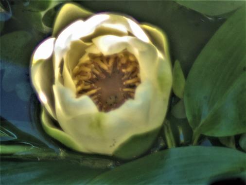 Knopse einer Weißen Seerose(Nymphaea alba(L.))