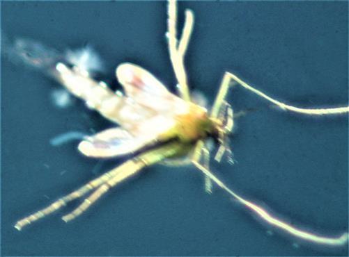 Gemeine Stechmücke(Culex pipiens(L. 1758)) beim Schlupf auf einer Wasseroberfläche