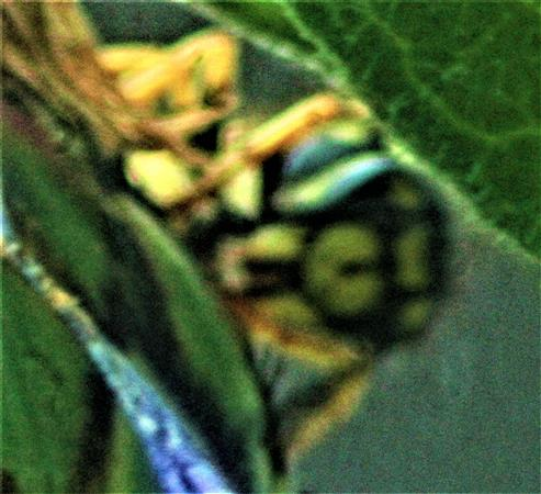 Gemeine Wespe(Vespula vulgaris(L. 1758)) auf der Suche nach Blattläusen(Aphidoidea)