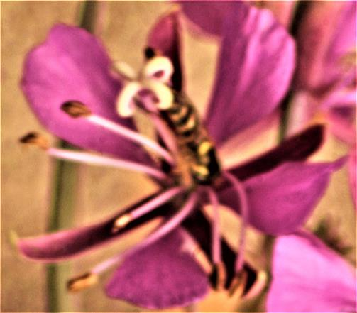 Gemeine Langbauchschwebfliege(Sphaerophoria scripta(L. 1758)) an einer Blüte des Schmalblättrigen Weidenröschens(Epilobium angustifolium(L.))