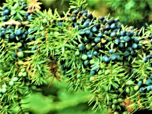 Zweig eines Gemeinen Wacholders mit einigen Zapfen(Juniperus vulgaris(L.))