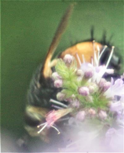 Igelfliege(Tachina fera(L. 1761)) seitlich