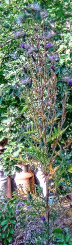 Gewöhnliche Kratzdistel(Cirsium vulgare(Savi.)Ten.) austrocknend
