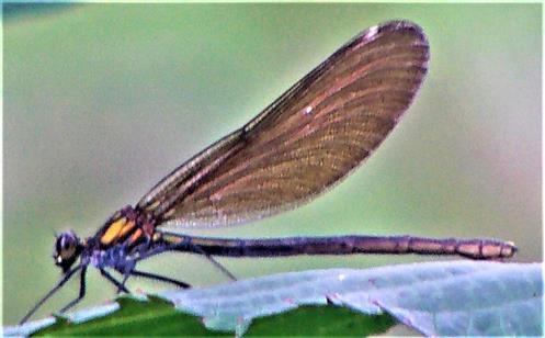 Weibliche Blauflügel-Prachtlibelle(Calopteryx virgo(L. 1758))