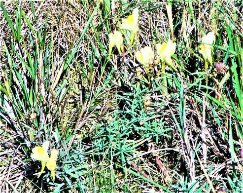 Kleines Löwenmaul bzw. Echtes Leinkraut(Linaria vulgaris(Mill.))