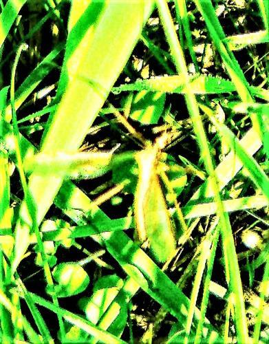 Wiesenschnake(Tipula paludosa(Meigen 1830)) im Sonnenschein