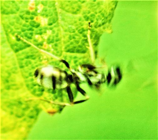 Arbeiterin der Schwarzen Wegameise(Lasius niger(L. 1758)) am Waldrand