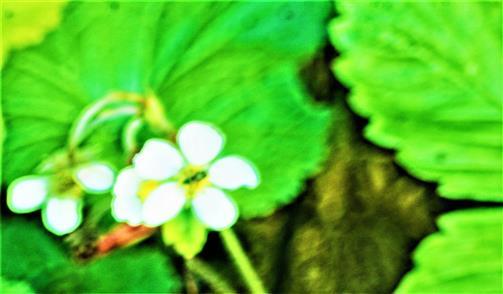 Blüten einer Wald-Erdbeere(Fragaria vesca(L.))