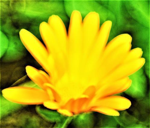 Blüte einer Ringelblume(Calendula officinalis(L.))