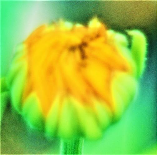Knospe einer Ringelblume(Calendula officinalis(L.))