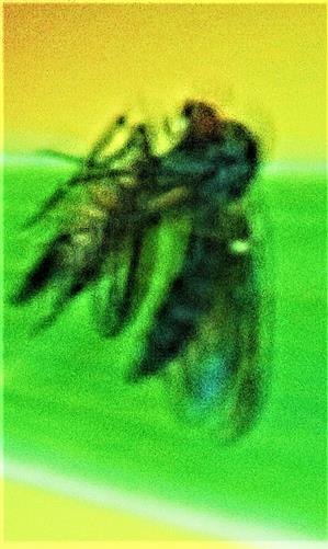 Gemeine Raubfliege(Tolmerus atricapillus(Fallén 1814)) mit Beute