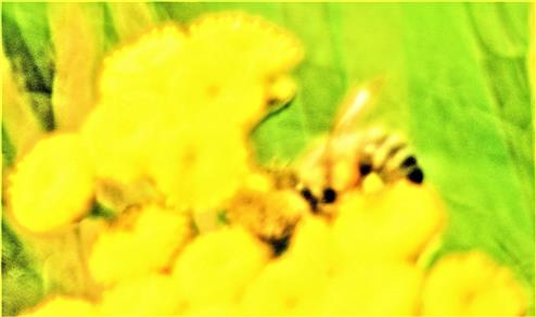 Westliche Honigbiene(Apis mellifera(L. 1758)) auf Rainfarn(Tanacetum vulgare(L.))