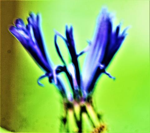 Knospe einer Berg-Flockenblume(Cyanus montanus(L.)Hill)
