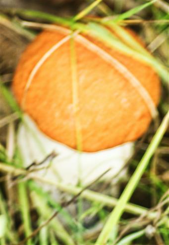 Weißstielige Rotkappe(Leccinum leucopodium(Pers.)Dörfelt & G.Berg)
