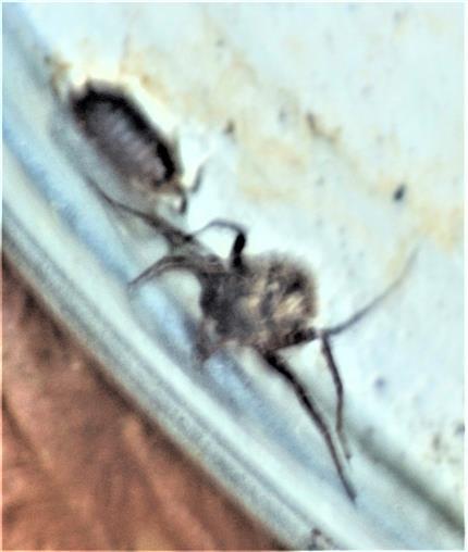 Kellerassel(Porcellio scaber(Latreille 1804)) sowie Trauerwolfsspinne(Pardosa lugubris (Walckenaer 1804))