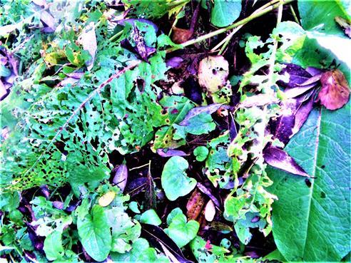 Fraßspuren an Blättern einer Klette(Arctium)