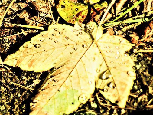 Unterseite eines Berg-Ahornblattes(Acer pseudoplatanus(L.)) mit Regentropfen