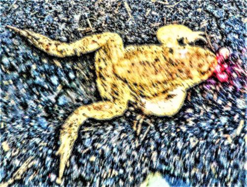 Erdkröte(Bufo bufo(L. 1758)) als Verkehrsopfer