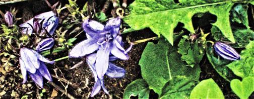 Blüten einer Hängepolster-Glockenblume(Campanula poscharskyana (Degen))