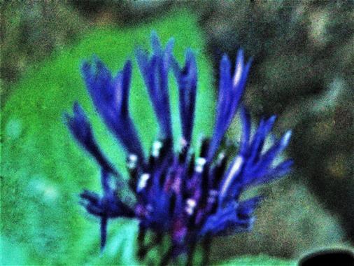 Blüte einer Berg-Flockenblume(Cyanus montanus(L.)Hill)