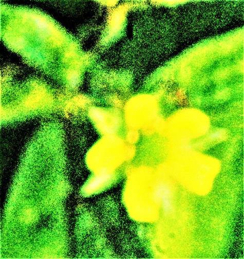 Blüte einer Echten Nelkenwurz(Geum urbanum(L.))