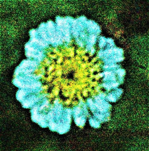 Blüte eines Mutterkrautes(Tanacetum parthenium(L.))
