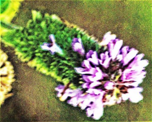 Blüten einer Pfefferminze(Mentha x piperita(L.))
