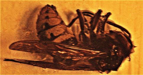 Arbeiterin einer Hornisse(Vespa crabro(L. 1758)) ertrunken