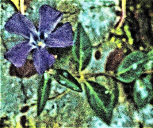 Blüte des Kleinen Immergrüns(Vinca minor(L.))