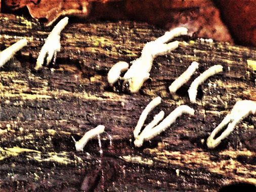 Anfangsstadien der Geweihförmigen Holzkeule(Xylaria hypoxylon(L.)Grev.)