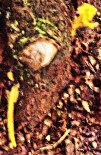 Klebriger Hörnling(Calocera viscosa(Pers. : Fr.)Fr.))