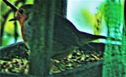 Rotkehlchen(Erithacus rubecula(L. 1758)) im Futterhaus