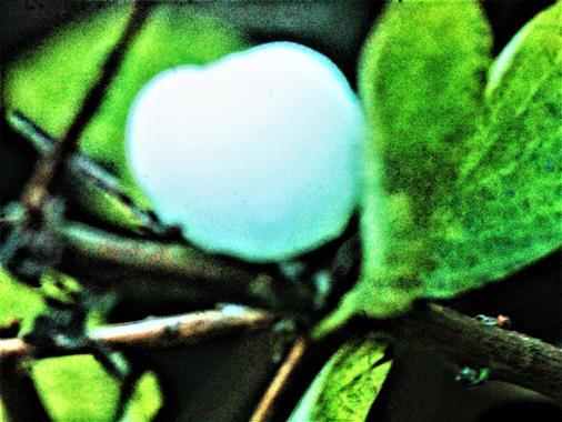 Frucht(Knallerbse) einer  Gewöhnlichen Schneebeere(Symphoricarpus albus(Duhamel))