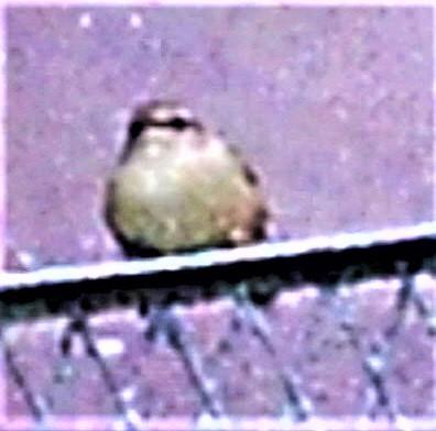 Zilpzalp(Phylloscopus collybita(Vieillot 1817)) als Gast an einem Komposthaufen