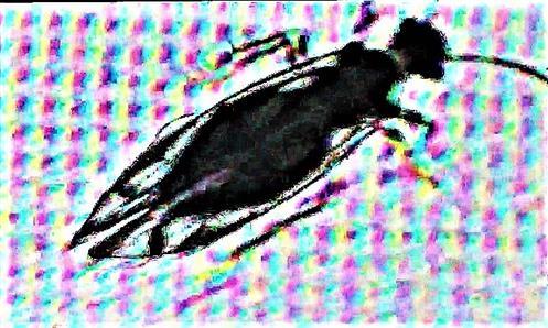 Staublaus Psocoptera Caeciliusidae