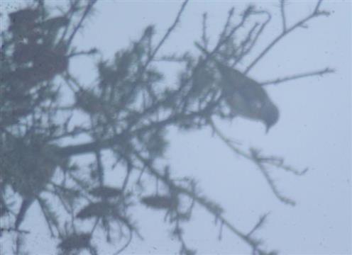 Wacholderdrosseln(Turdus pilaris(L. 1758)) im Nebel