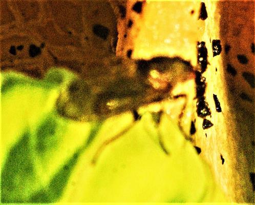 Dungfliege(Scatophaga furcata(Say 1823)) auf Kompost