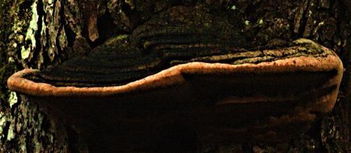 Rotrandiger Baumschwamm bzw. Fichtenporling(Fomitopsis pinicola(Sw. ; Fr.) P. Karst.)