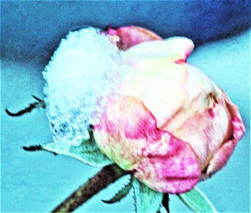 Rosa bis fleischfarbene Rosenknospe mit etwas Schnee