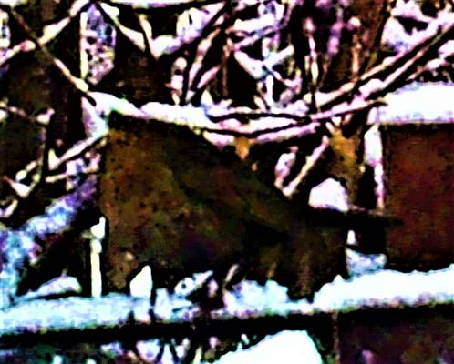 Singdrossel(Turdus philomelos(Brehm 1831)) an einem Komposthaufen Januar 1831