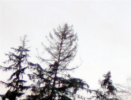Wipfelregion bereits geschädigter Gemeiner Fichten(Picea abies(L.) H. Karst.)