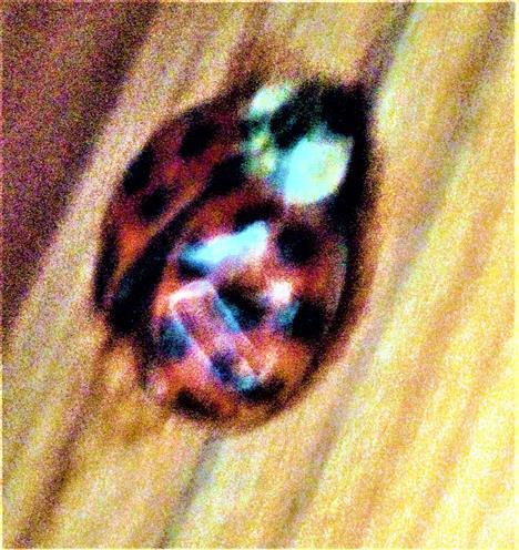Farbmorphe eines Asiatischen Marienkäfers(Harmonia axyridis(Pallas 1773)) in der Nähe eines Fensters