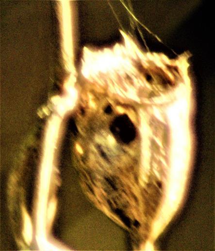 Kapsel einer Nelke(Dianthus(L.)) aus dem letzten Jahr