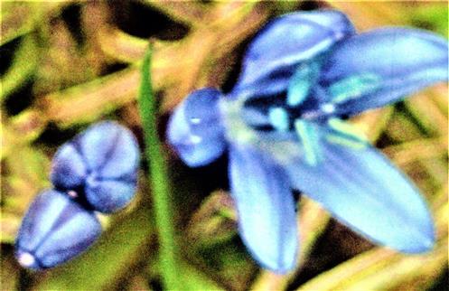 Blüten(-knospe) des Zweiblättrigen Blausterns(Scilla bifolia(L.))