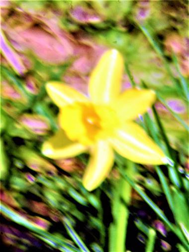 Kleine Osterglocke bzw. Gelbe Narzisse(Narcissus pseudonarcissus(L.))