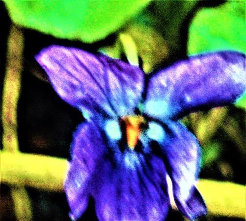 Blüte eines Duftveilchens(Viola odorata(L.))